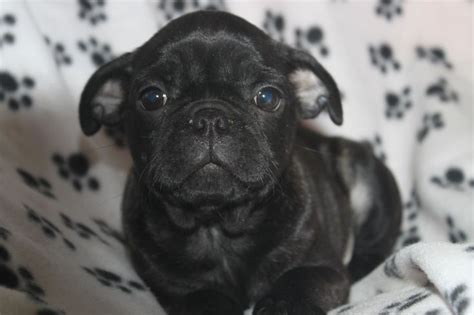pug breeders in nj boston terrier pug puppies for sale in newburg pennsylvania http www network34