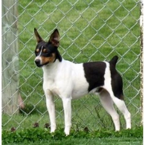 rat terrier puppies for sale clearbrook kennels rat terrier breeder in sumas washington listing id 9790