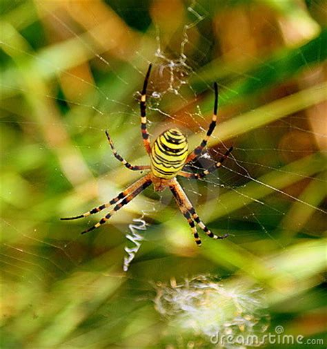 yellow striped spider royalty  stock images image