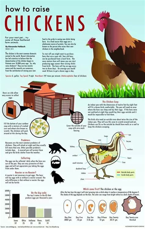 How To Raise Backyard Chickens For Eggs by 17 Best Ideas About How To Raise Chickens On