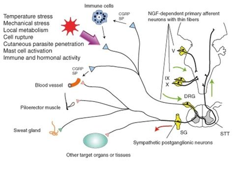 vestibular nerve definition current research and treatment hereditary sensory and