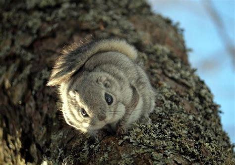 scogliattolo volante a helsinki tornano gli scoiattoli volanti siberiani