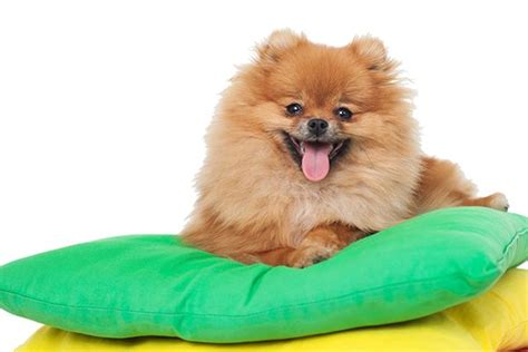 pomeranian span what to about the small but mighty pomeranian