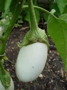 Garden Eggplant Growing Eggplant Bonnie Plants