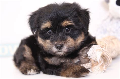 havanese yorkie puppies puppies for sale