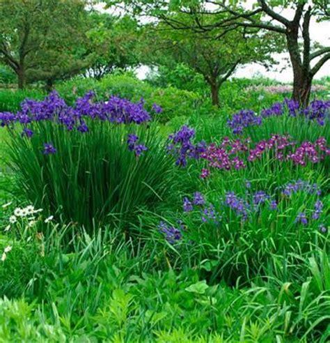 full sun flower beds iris sibirica fine gardening full sun flower bed pinterest