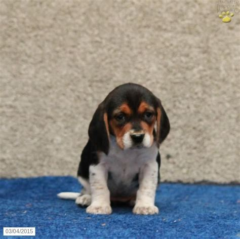 beagle puppies for sale in pa 20 best images about beagle on