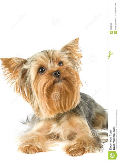world s largest yorkie bull terrier stock image images royalty free photo stock photos breeds picture