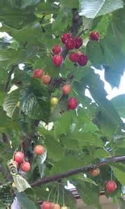 Patio Cherry Tree Black Tartarian Cherry Tree Flora Amp Fauna On My Acreage