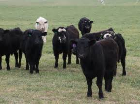 Feeder Cattle Oklahoma Farm Report Forage Marketing Just As Important