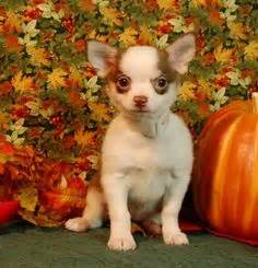 chihuahua puppies for sale in ma tiny treasure chihuahuas http tinytreasurechihuahuas we chihuahuas