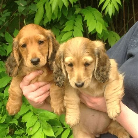 haired mini dachshund puppies for sale haired mini dachshunds pups for sale knutsford cheshire pets4homes
