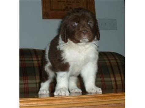 newfoundland puppies for sale in nc newfoundland puppies for sale