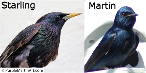what does martin is it a purple martin