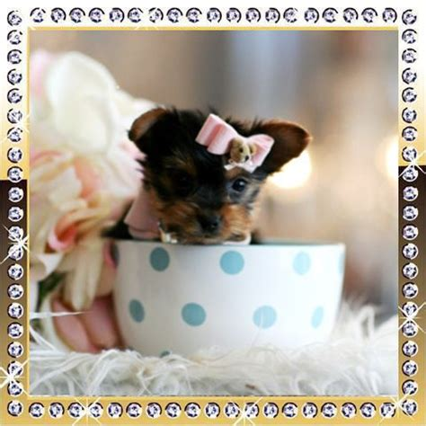 yorkie for sale ottawa 200 best images about teacup dogs on yorkie puppies for sale yorkie for