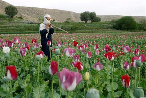 fiore oppio papavero da oppio piante perenni coltivazione papavero
