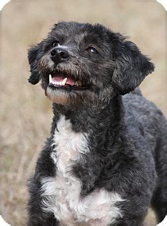 bichon yorkie rescue china adopted albany ny bichon frise yorkie terrier mix