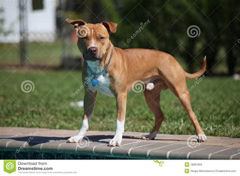 standing pit pit bull stance stock photography image 18261902