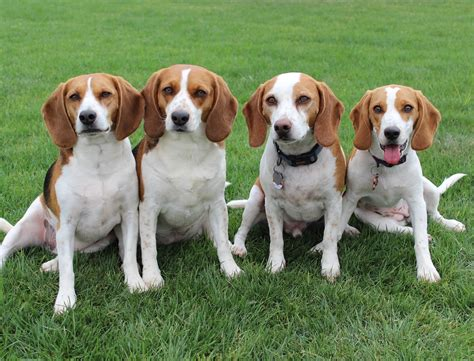 beagle puppies az beagles for sale in az your beagle is waiting for you call now 480 242 7615