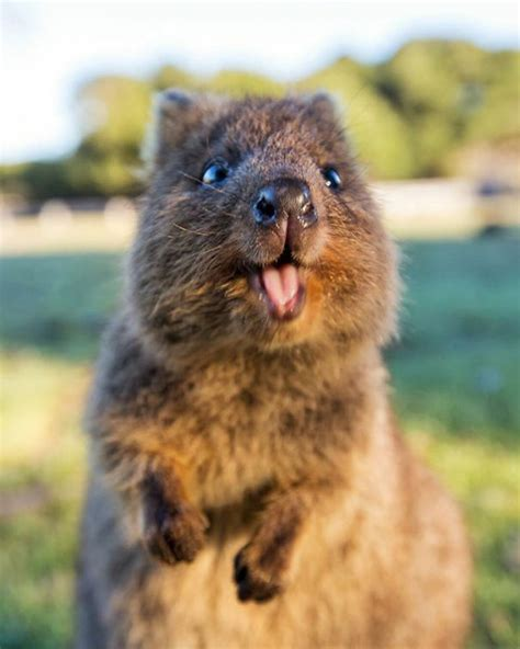 animal pictures quokkas are the happiest animals in the world bored panda