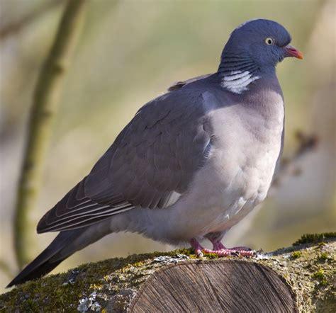 cucinare il colombaccio storia colombaccio e piccione