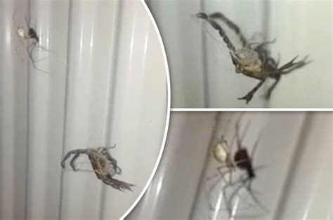 giant spider in bathroom giant spider and scorpion fight in bathroom in front of