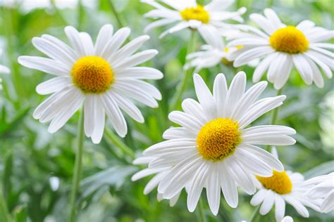 fiori margherita margherite oggiscopri