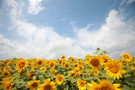 sun flower garden sunflower garden photo page everystockphoto