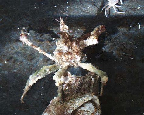 Graceful Decorator Crab by Afsc Race Graceful Decorator Crab Oregonia Gracilis