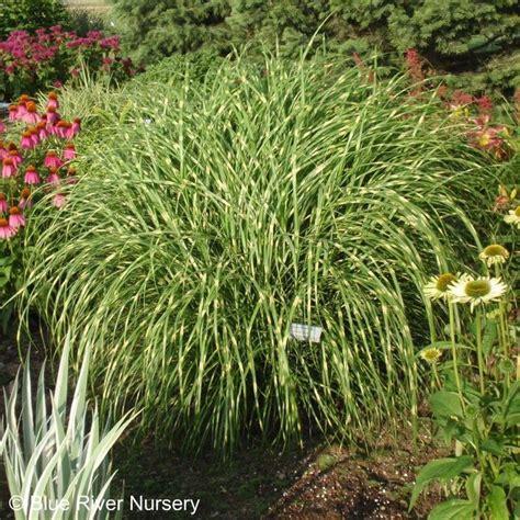 little zebra grass yard gardening pinterest
