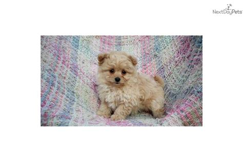 pomapoo puppies for sale yorkie mix breeds wisconsin for sale breeds picture