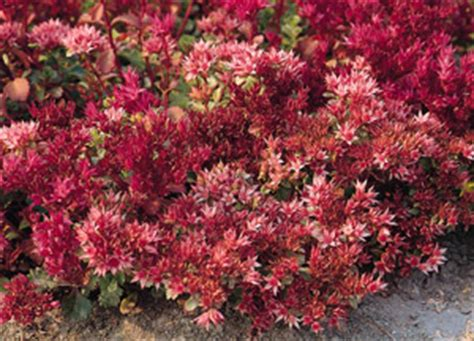 Green Carpet Rupturewort Seeds by Jim S Favorite Flower Garden Seeds