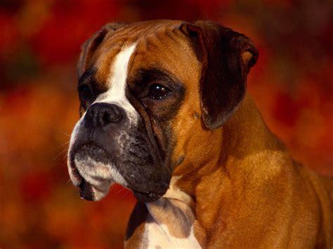 dog wallpapers free desktop wallpaper box wallpapers boxer dog wallpapers
