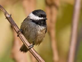 soggy chickadee pacific nw birder