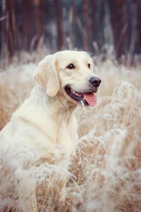 chion golden retriever puppies 17 best images about golden retriever on puppys beautiful