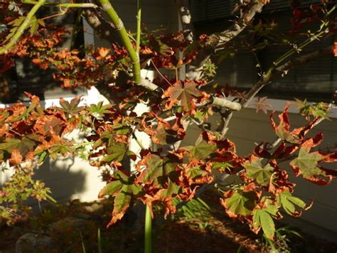 maple tree brown leaves the leaves of my japanese maple tree are turning brown any advice