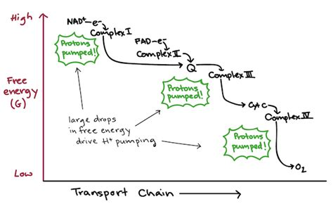 diagram and explain electron transport electron transport chain diagram cellular respiration
