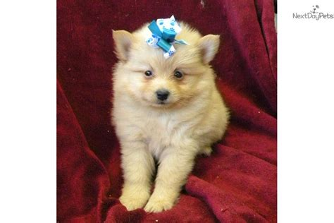 pomeranian for sale in las vegas pomeranian puppy for sale near las vegas nevada e88bc4e7 c021