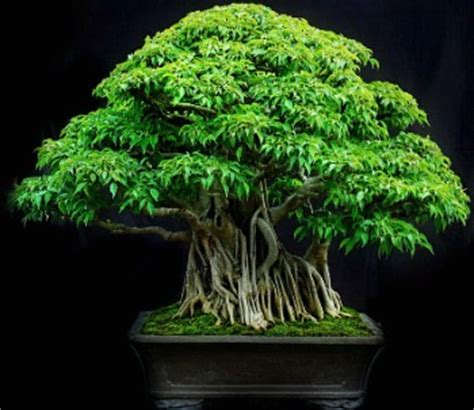 Florida Cool bonsai ficus trees indoors and out great beginner choice