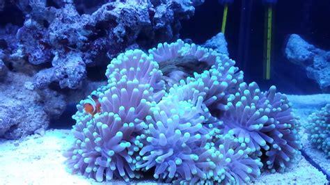 marino fiori anemoni acquario marino fiori idea immagine