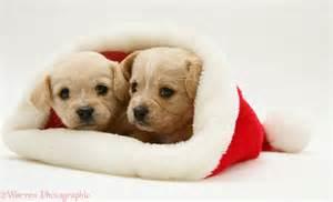 Dogs westie x cavalier pups in a santa hat photo wp19988