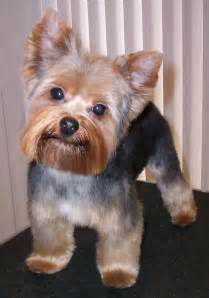 hair cut for yorkie pekachon 15 must see yorkshire terrier haircut pins yorkie