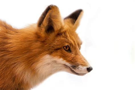 best fox pictures fox spirit animal meaning