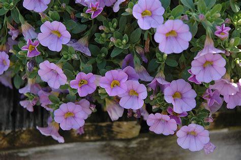 superbells miss lilac calibrachoa calibrachoa superbells miss lilac in winnipeg headingley