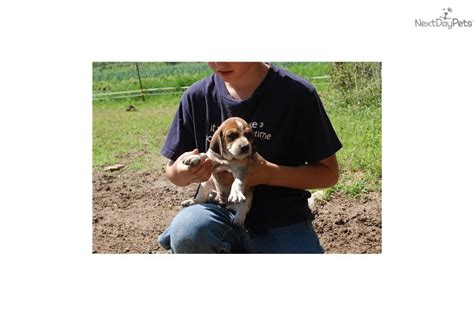 coonhound puppies for sale near me coonhound puppy for sale near springfield missouri 6333d6ad c791