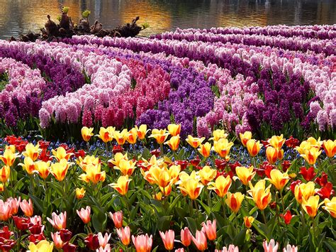 Flowers From Many Gardens Pictures Tulips Parks Flowers Hyacinths Many