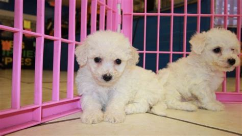 bichon frise puppies for sale in ga sweet bichon frise puppies for sale in at puppies for sale local breeders