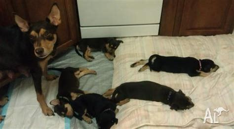 australian kelpie puppies for sale australian kelpie puppies for sale for sale in abingdon downs queensland classified