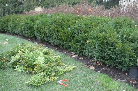 healthier boxwoods and free holiday greenery subee s