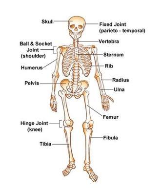 human skeletal system diagram diagram skeletal system